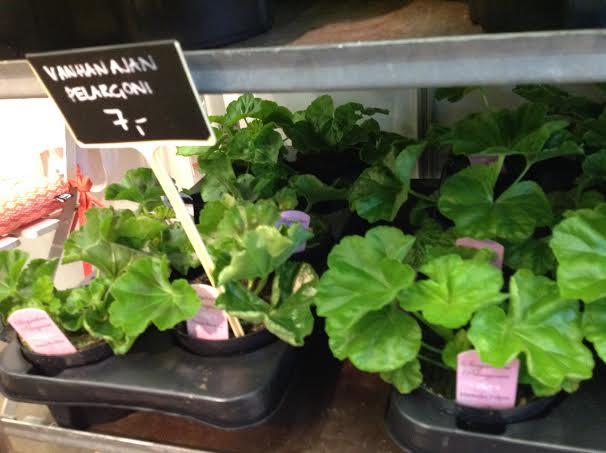 Pelargonian taimia