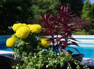 Keltainen samettiruusu ja tumma tuntematon kukka