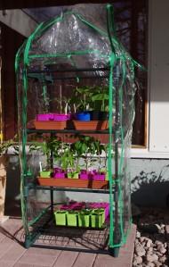 Taimet minikasvihuoneessa tottumassa ulkoilmaan