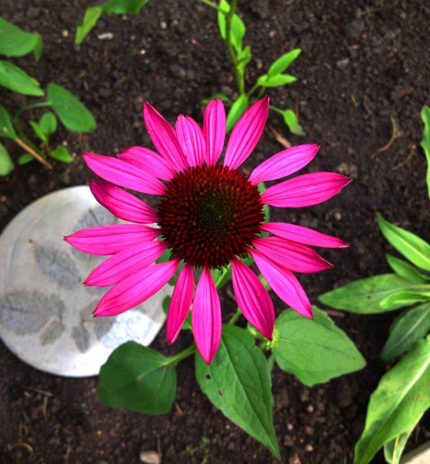 Punakaunohatun kukka