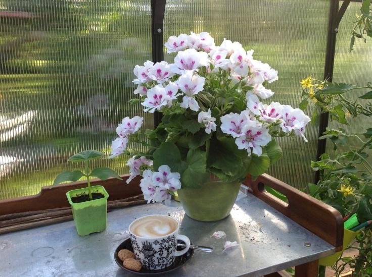 Pelargonia ja kahvikuppi kasvihuoneen pöydällä