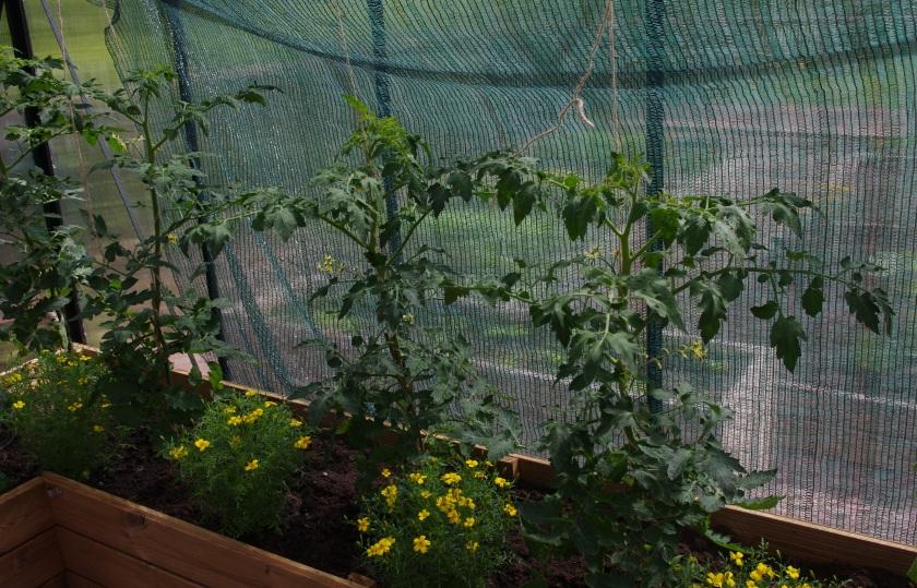 Tomaatit ja samettiruusut kasvavat sopivat hyvin samaan kasvihuoneeseen.