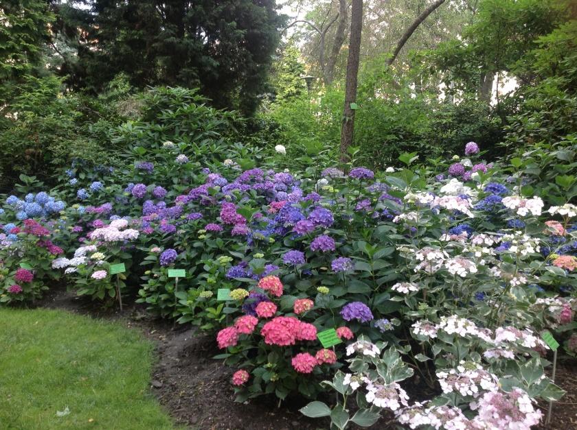 Punaiset, siniset ja valkoiset hortensiat kukkivat