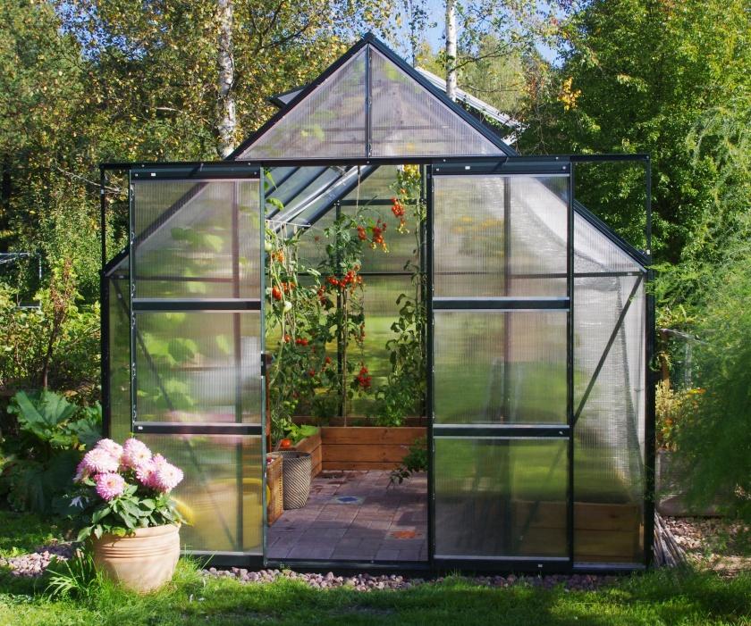Kasvihuoneessa tomaatteja ja kasvihuoneen edessä kukkii daalia
