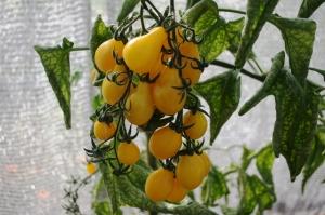 Keltainen Ildi-tomaatti