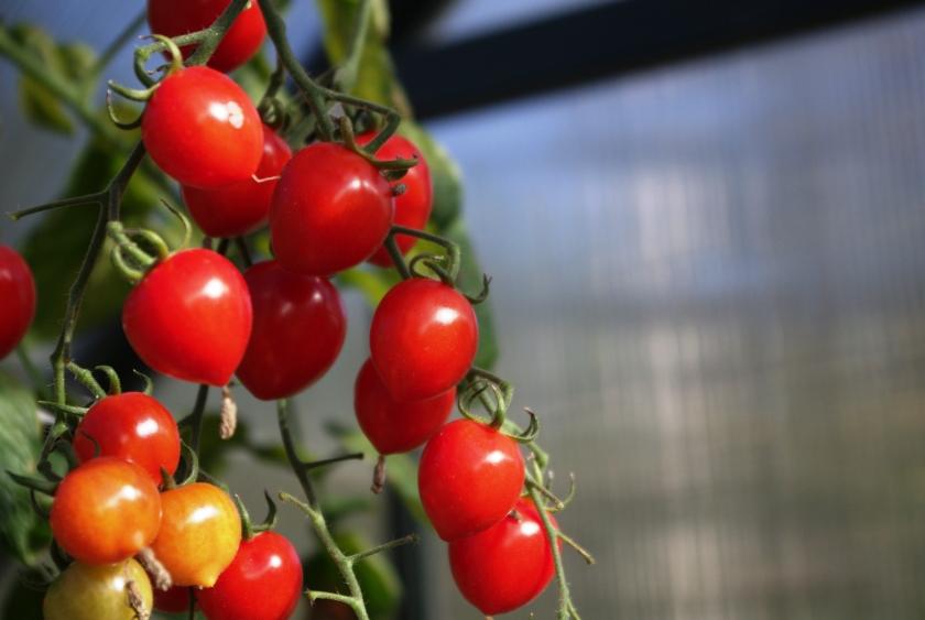 Punaiset kirsikkatomaatit