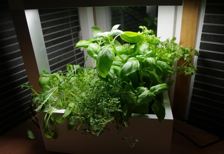 Yrttejä kasvamassa keittiössä Herbie-sisäpuutarhassa
