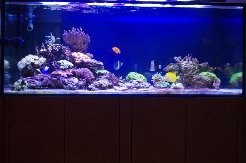 Koralleja ja kaloja merivesiakvaariossa