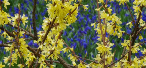 Keltainen onnenpensas hehkuu sinisiä skilloja vasten.