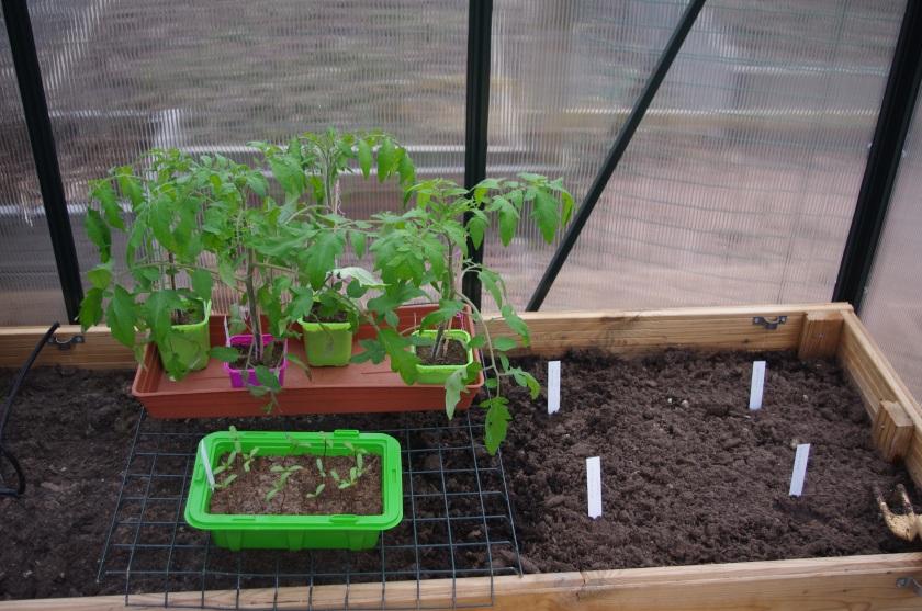 Tomaatin ja samettiruusun taimet kasvihuoneessa