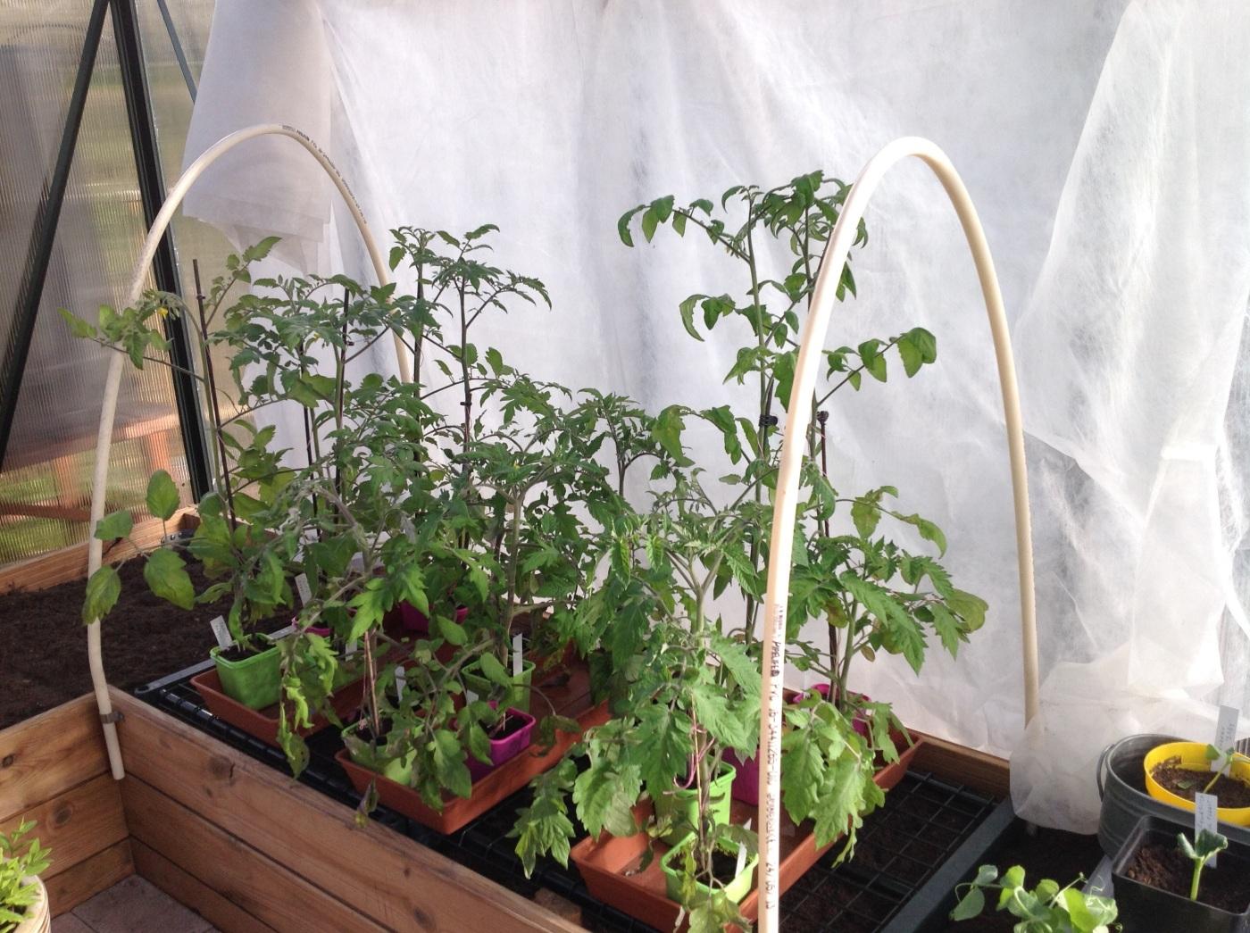 Tomaatintarimien hallaharsosuuojaus
