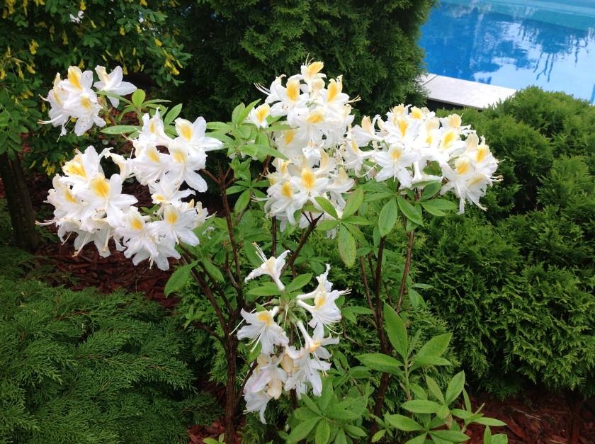 Valkoinen atsalea puutarhassa