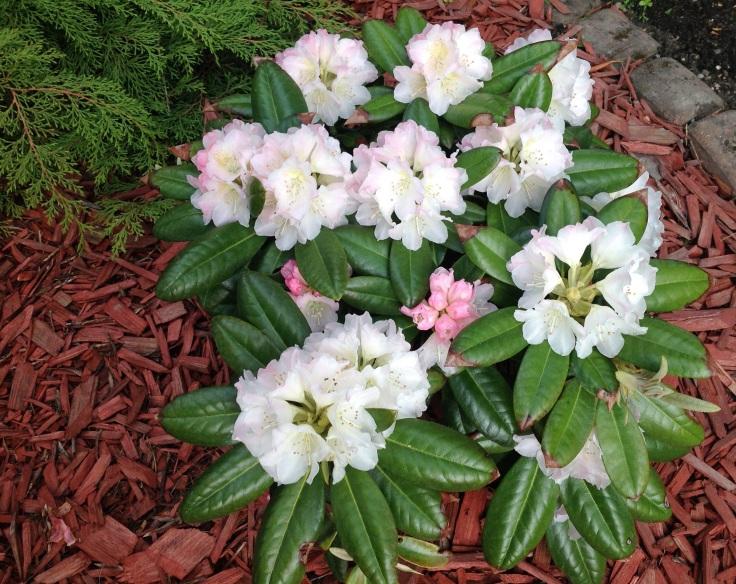 Valkoinen alppiruusu