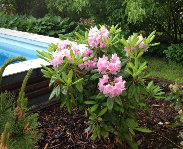 Vaaleeanpunainen alppiruusu