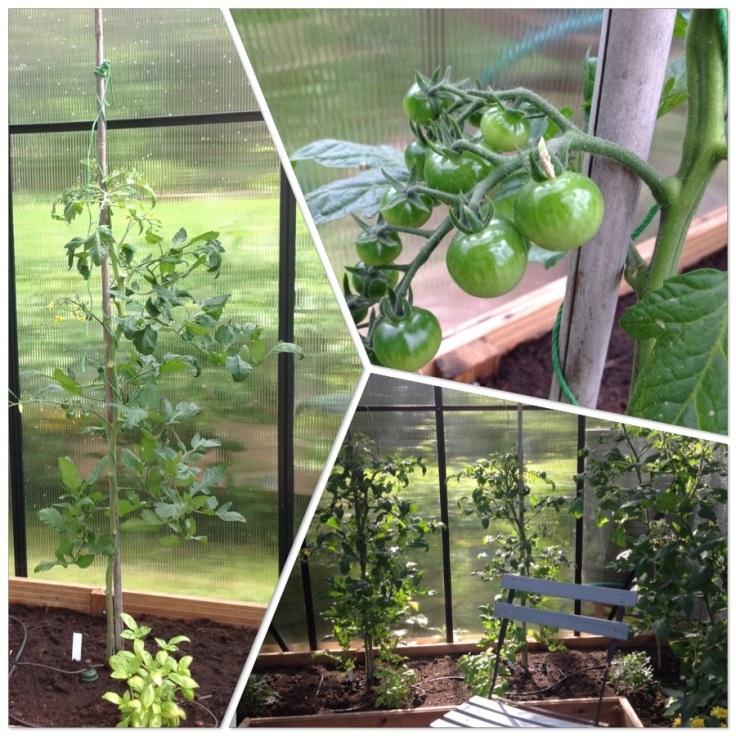 Tomaatintaimia ennen ja jälkeen lehtien karsimisen. Hedelmän alut ovat vihreitä.