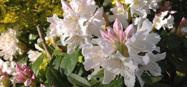 Iso valkoinen alppiruusu