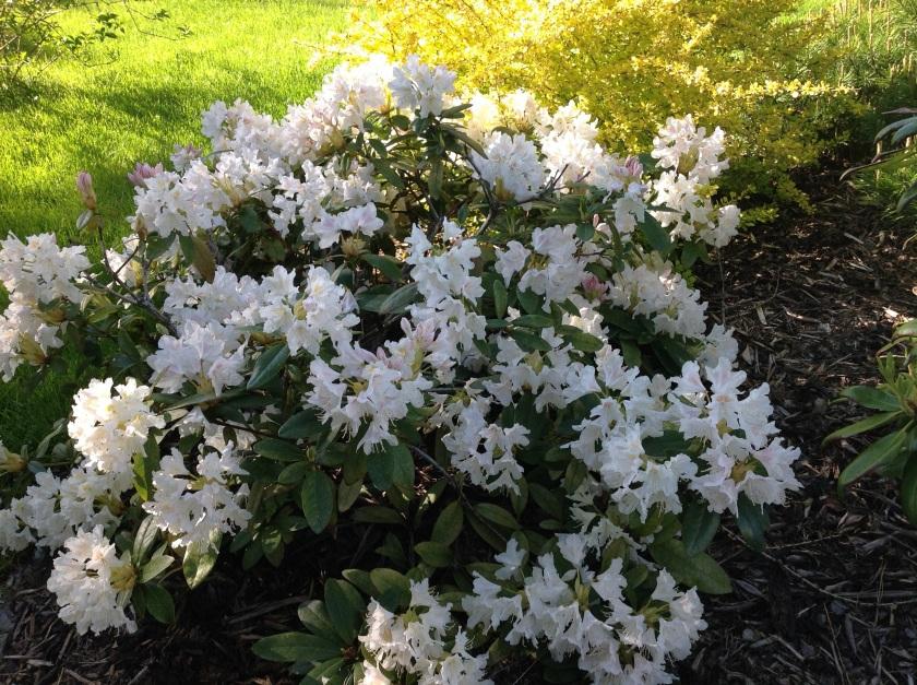 Valkoinen iso alppiruusu