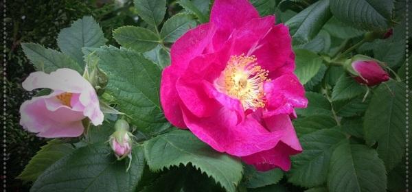 Kaksi vaalenpunaista ruusunpensaan kukkaa.