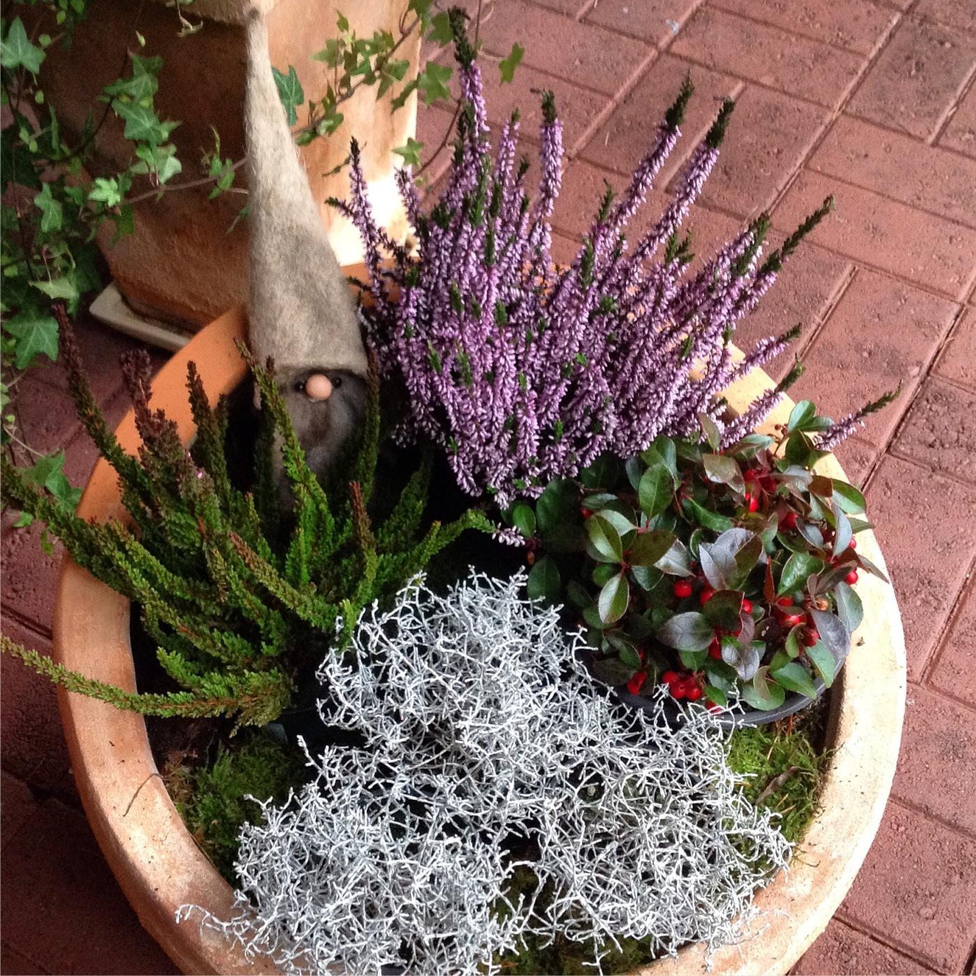 Talvinen kukka-asetelma ulkoruukussa sisältää kolmea erilaista kanervaa ja hopealankaa. Tonttu kurkkaa seasta.