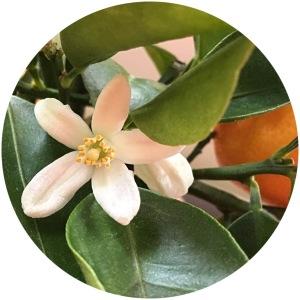 Kalamondiinin kukka