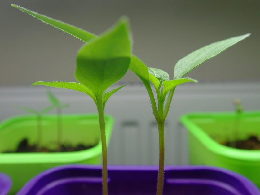 Kaksi pientä chilinversoa taimiruukussa, taustalla pari muuta taimiruukkua.