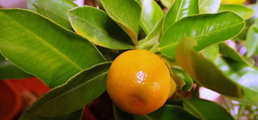 Pieni kalamondiinin hedelmä kasvamassa.