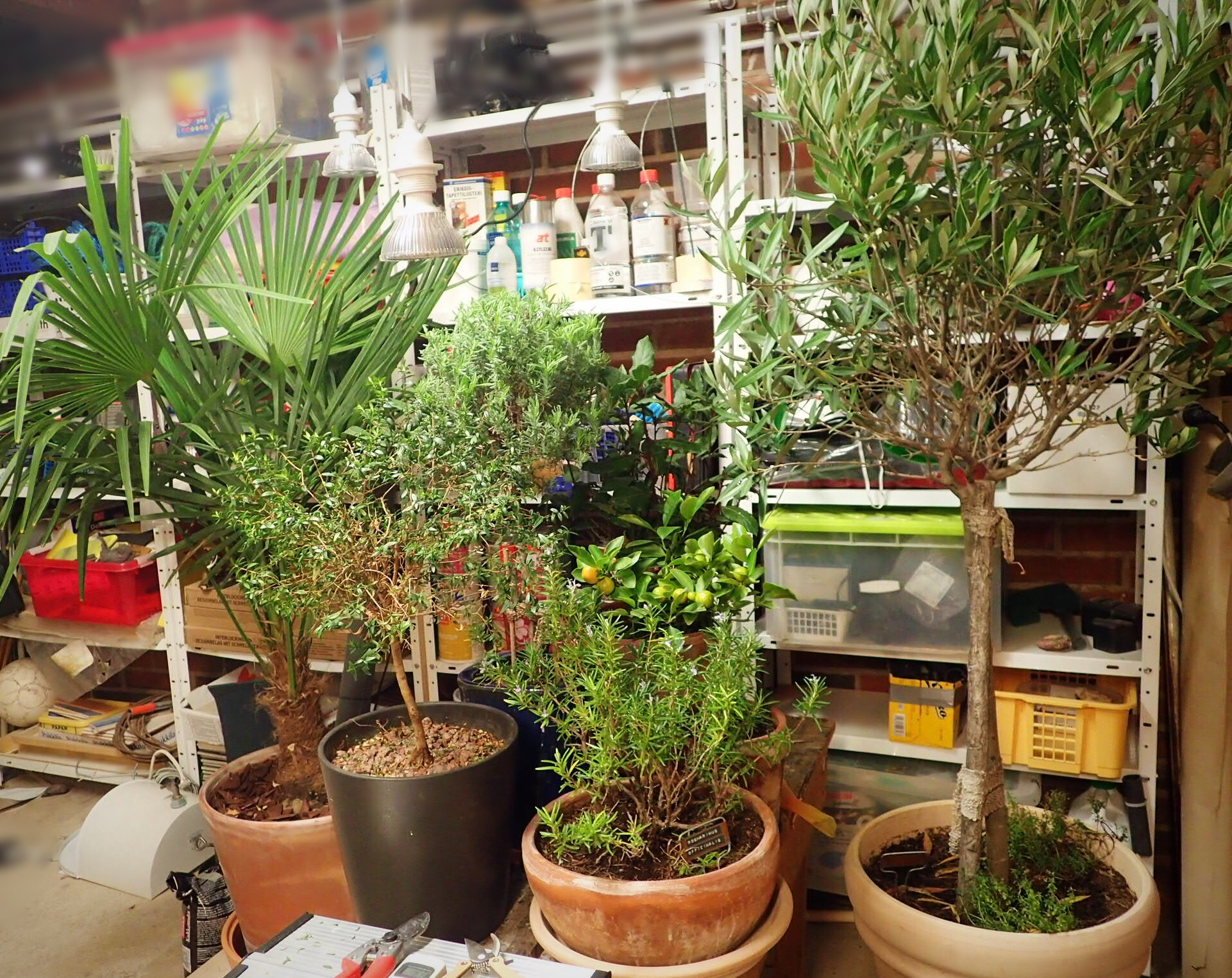 Välimeren alueen kasveja talvehtimassa autotallissa. Mm. oliivipuu, laventeli, rosmariini, kalamondiini ja kuitupalmu.