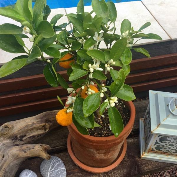 Pieni kalamondiini-puu, jossa muutama hedelmä ja kukkia.