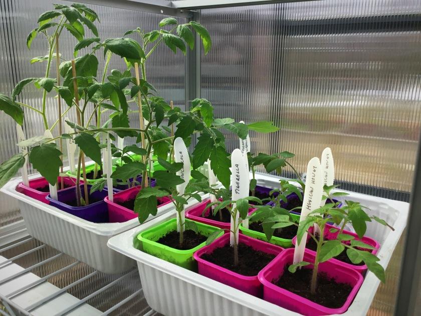 Tomaatintaimia ruukuissa keväällä kasvihuoneessa.
