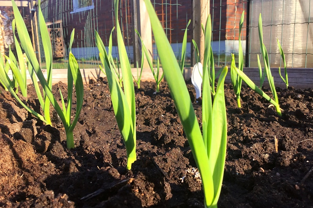 Valkosipulin vihreät varret nousevat mullasta kasvimaalla.