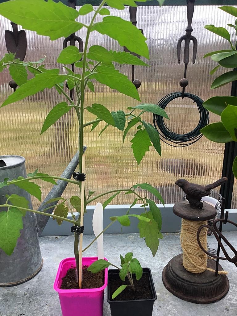 Samaan aikaan kylvelyt Sungold ja Perfect Flame -tomaatintaimet. Iso on Sungold.
