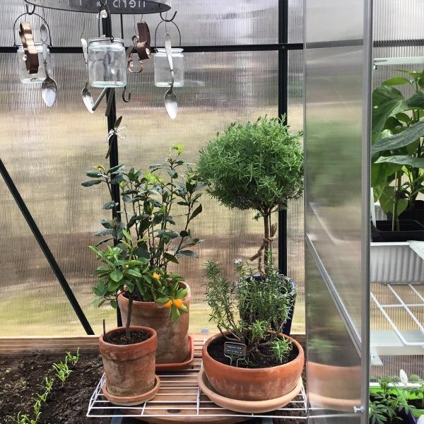 Laakeripuu, laventeli, rosmariini ja kalamondiini ruukuissaan kasvihuoneessa.