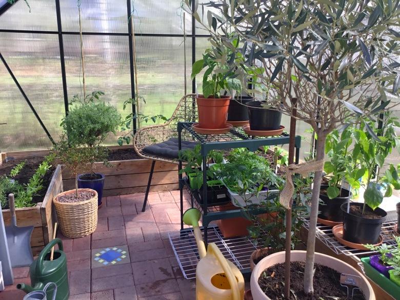 Kotipuutarhurin kasvihuone, missä taimia sekä isompia Välimeren alueen kasveja ruukuissaan.