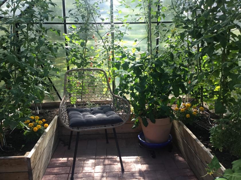 Kasvihuoneessa tomaatteja penkeissä ja yksi isossa ruukussa. Myös puutarhurin lepotuoli on päässyt kuvaan.