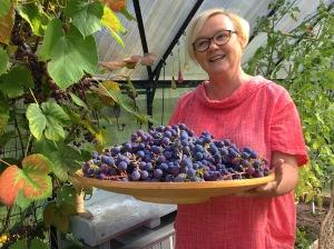 Viinirypälevati onnellisen puutarhurin käsissä kasvihuoneessa.