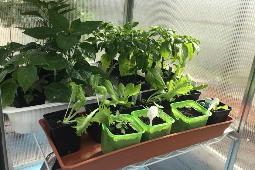 Chilin ja salaatintaimia kasvihuoneessa.