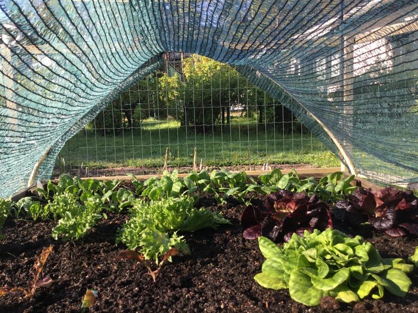 Salaatteja kasvimaalla varjostusverkon alla.