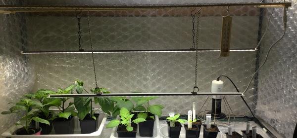 Pieniä chilintaimia kasvilamppujen alla taimiteltassa.