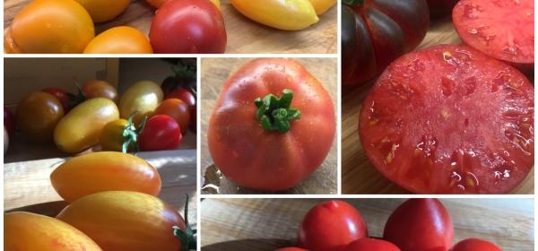 Kollaasikuva eri tomaattilajikkeista.