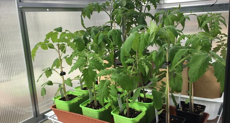 Tusinan verran tomaatintaimia harrastajan pienessä kasvihuoneessa