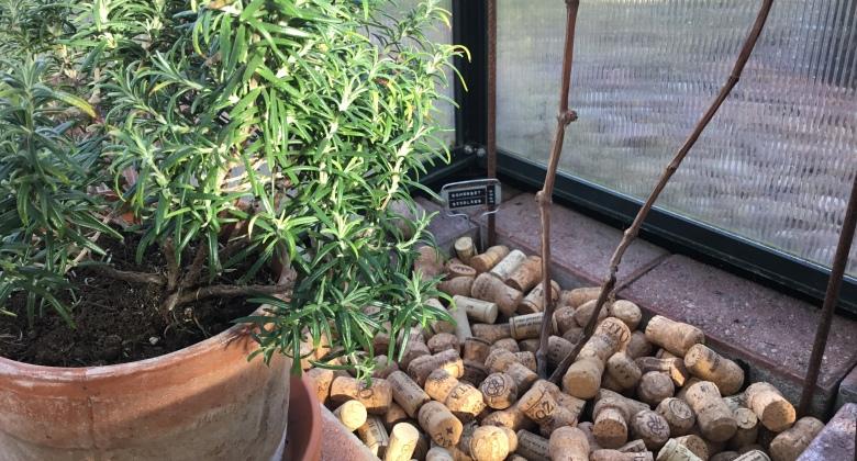 Viinipullon korkkeja viiniköynnöksen katteena kasvihuoneessa. Rosmariini kasvaa ruukussa vierellä.
