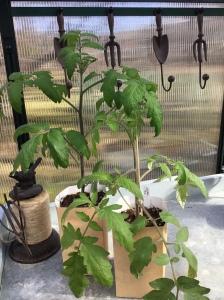 Kaksi tomaatintainta pahviruukuissa kasvihuoneen taimipöydällä.