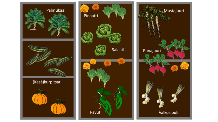 Pohjapiirros kolmen penkin muodostamasta kasvimaasta. Yhdessä penkissä palmukaalia ja kurpitsaa, toisessa salaattia, pinaattia ja papuja, kolmannessa mustajuuri, punajuuri ja valkosipuli. Kasvien seassa on muutama samettiruusu.